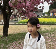 作品No:17 桜の髪飾り満開の桜にうっとり♪